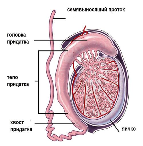 Осложнения эпидидимита.  Ещё мы лечим.  Эпидидимит это воспаление придатка яичка.  Придаток яичка это структура...